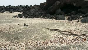 Baby-leguanen flyr från ormarna. Foto: BBC
